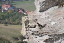 Alpenbraunelle 16.10.2012 Hohentwiel Singen KN C.Zimmermann III