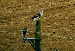 Schlangenadler 26.08.2012 Eppingen-Richen Adelshofen HN Maren Graf_kl