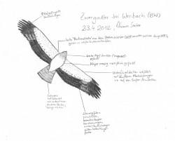 Zwergadler 23.04.2012 Werbach TBB Skizze T. Sacher