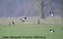 Steppenkiebitz 31.03.-04.04.2013 Kappel-Grafenhausen OG P├╝schel (3)